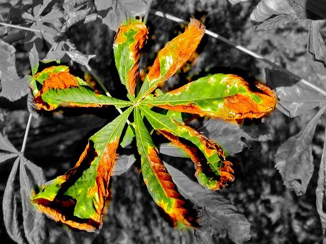 Mon marronier perd ses feuilles ecolojardiniere - Mon olivier perd ses feuilles ...