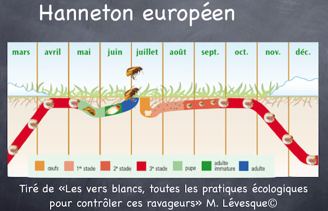 Vers blancs, Cycle hannetons européen